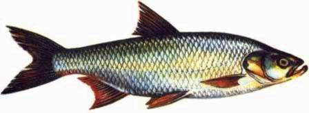 Boleń - (Aspius aspius) - Asp