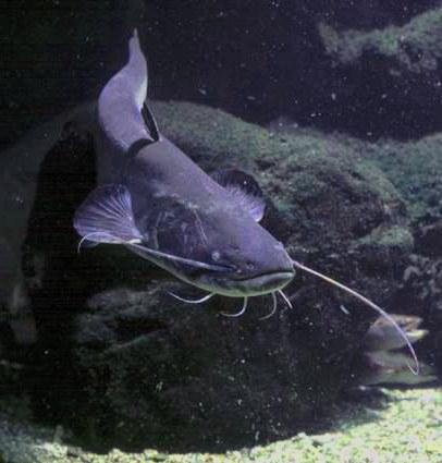 Sum - (Silurus glanis) - Wels catfish