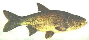 Tołpyga Pstra - (Aristichthys nobilis) - Bighead carp