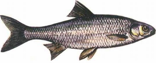 Jelec - (Leuciscus leuciscus) - Common dace